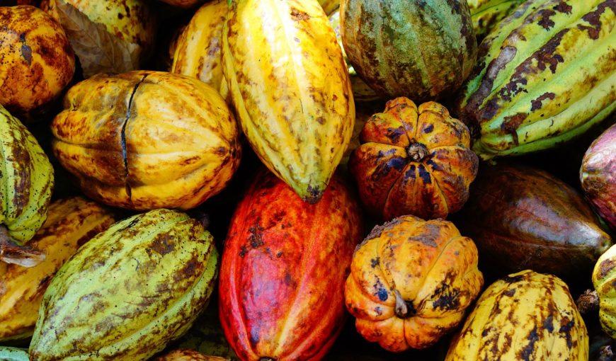 Cacao Samana